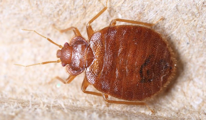 What are Bed Bugs and Where do they Live?